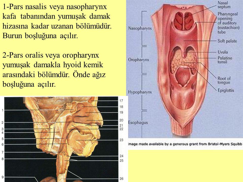 1-Pars nasalis veya nasopharynx kafa tabanından yumuşak damak hizasına kadar uzanan bölümüdür. Burun boşluğuna açılır.