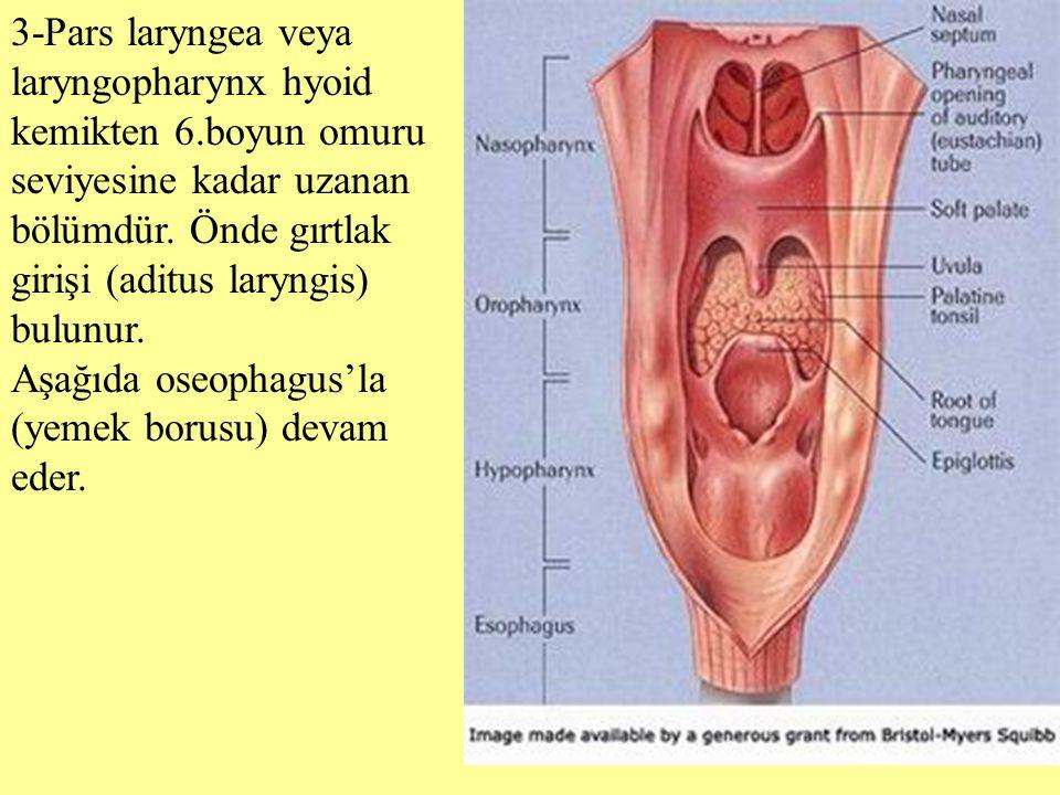 3-Pars laryngea veya laryngopharynx hyoid kemikten 6