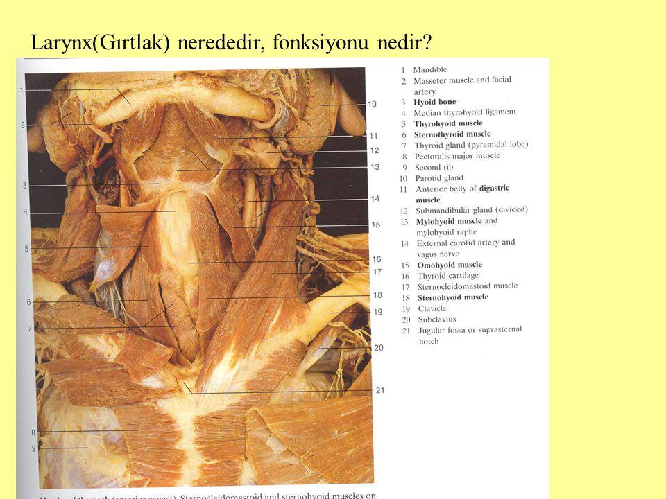 Larynx(Gırtlak) nerededir, fonksiyonu nedir