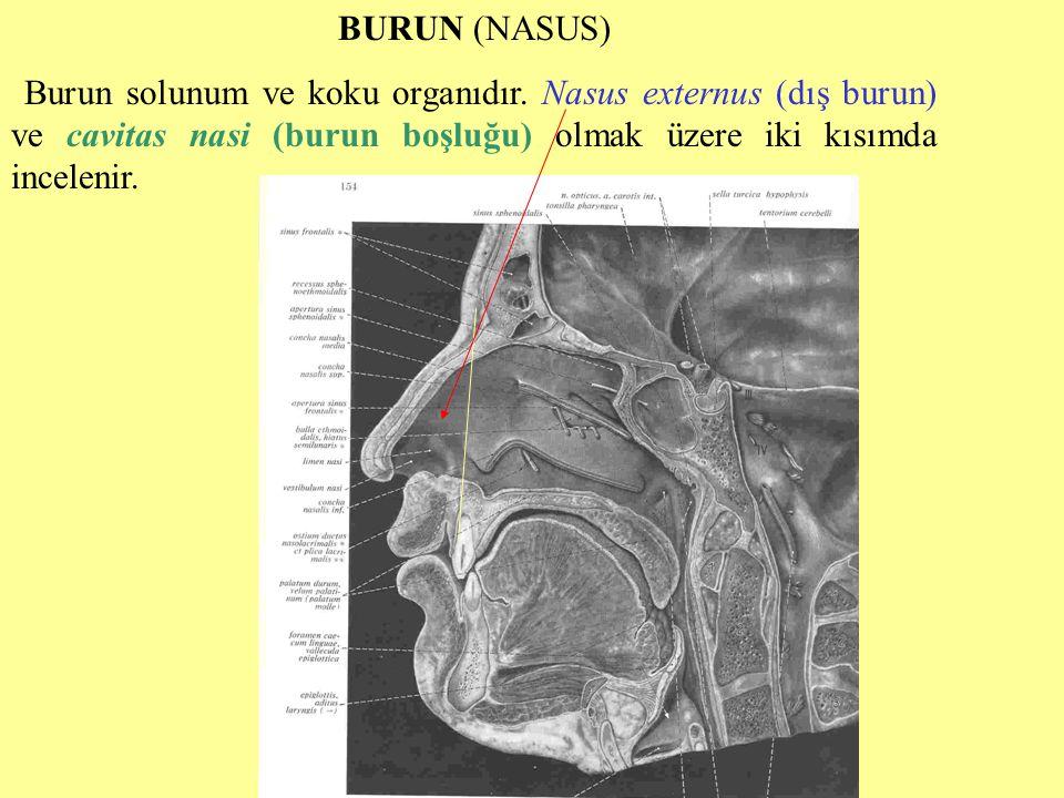 BURUN (NASUS) Burun solunum ve koku organıdır.
