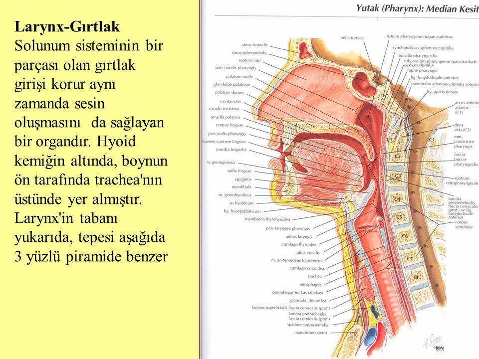 Larynx-Gırtlak