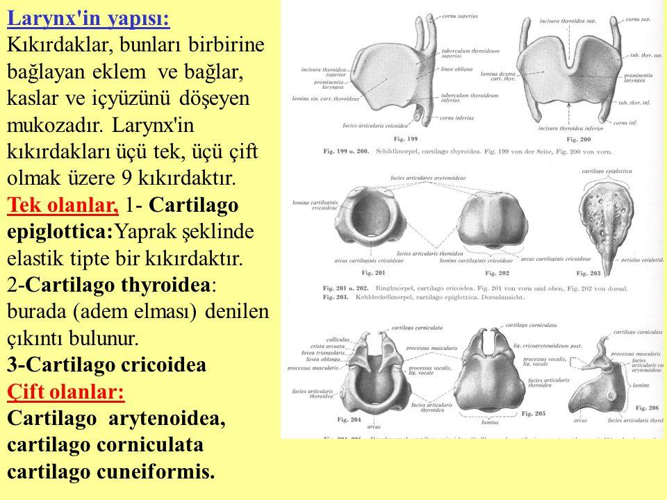 Larynx in yapısı: Kıkırdaklar, bunları birbirine bağlayan eklem ve bağlar, kaslar ve içyüzünü döşeyen mukozadır. Larynx in kıkırdakları üçü tek, üçü çift olmak üzere 9 kıkırdaktır.