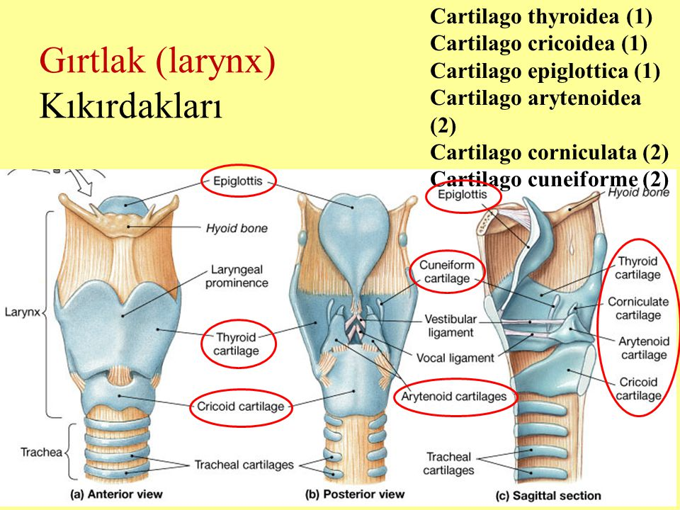 Gırtlak (larynx) Kıkırdakları Cartilago thyroidea (1)