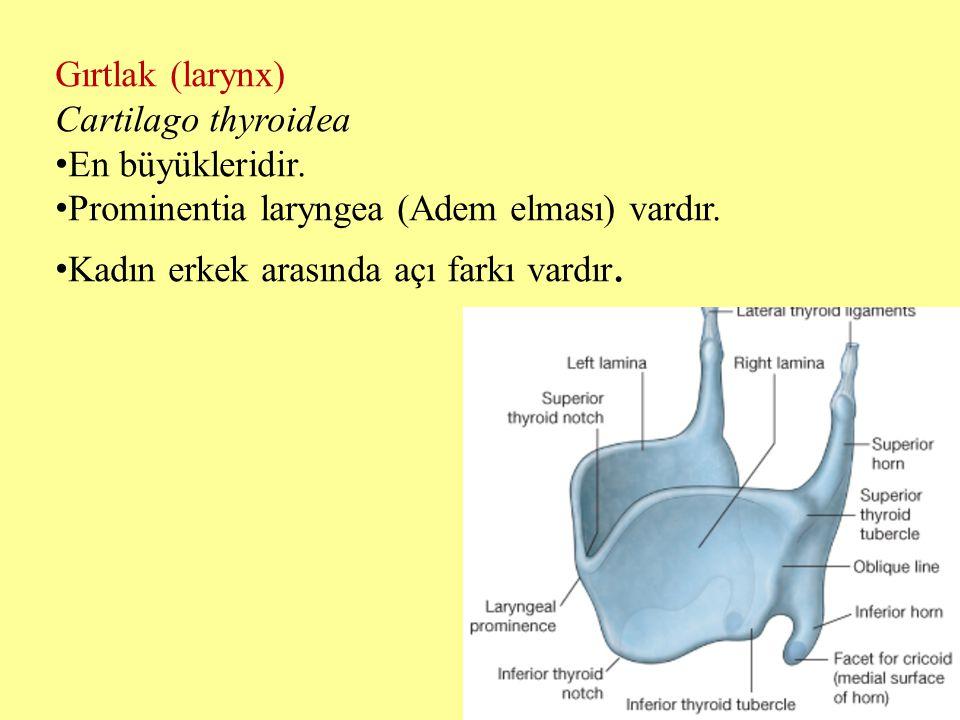 Gırtlak (larynx) Cartilago thyroidea. En büyükleridir. Prominentia laryngea (Adem elması) vardır.