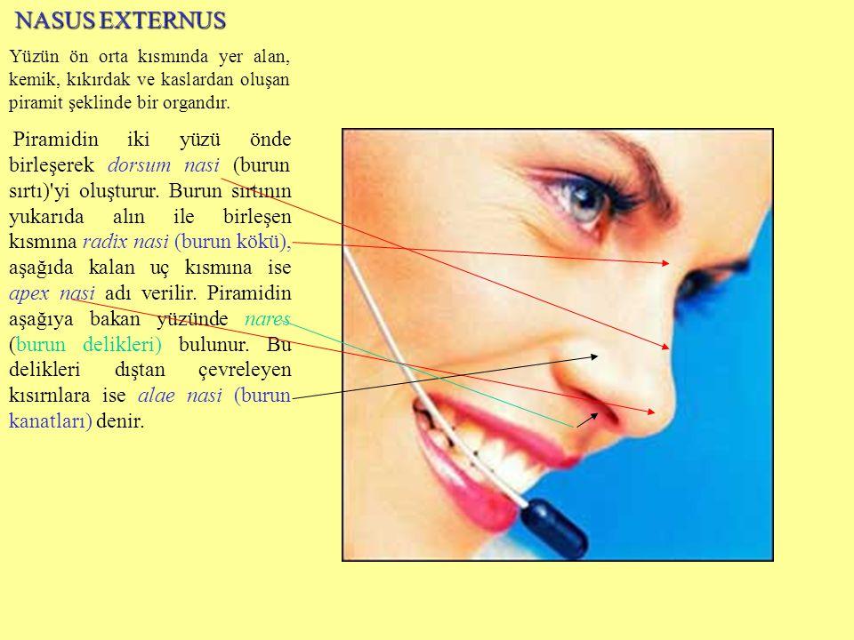 NASUS EXTERNUS Yüzün ön orta kısmında yer alan, kemik, kıkırdak ve kaslardan oluşan piramit şeklinde bir organdır.