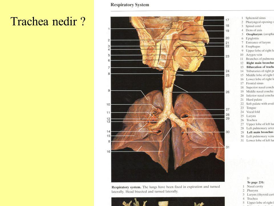 Trachea nedir