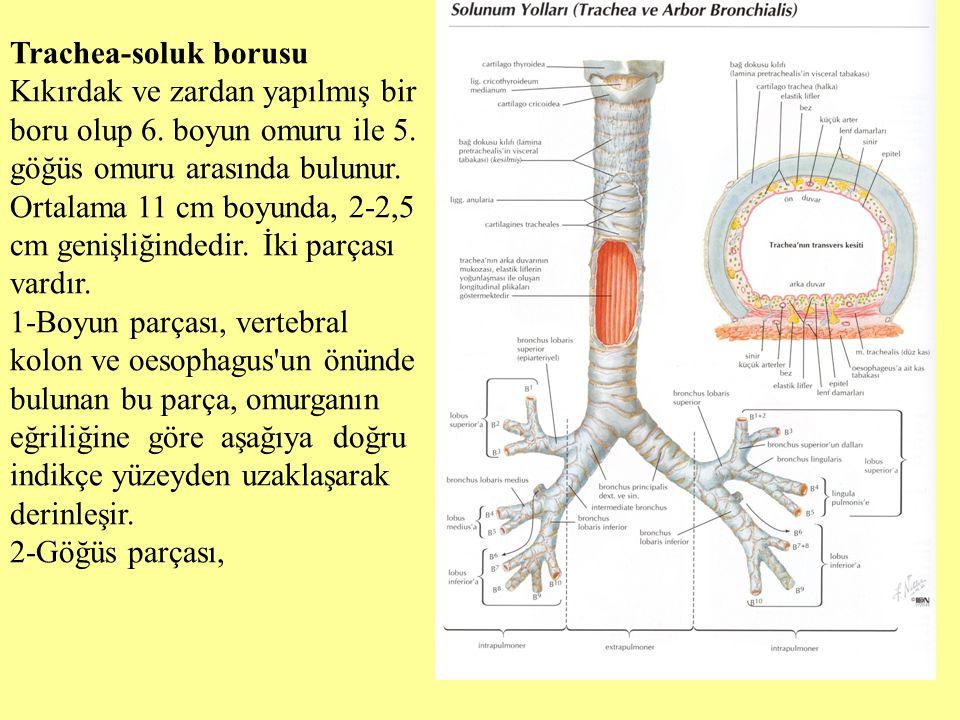 Trachea-soluk borusu