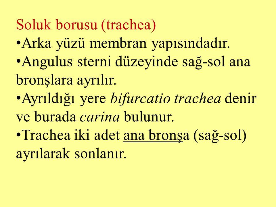 Soluk borusu (trachea)