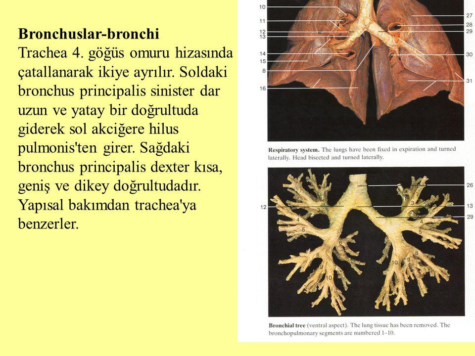 Bronchuslar-bronchi