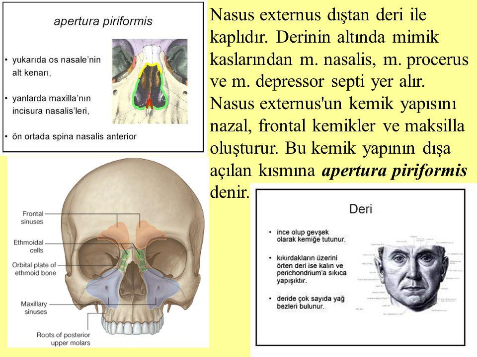 Nasus externus dıştan deri ile kaplıdır