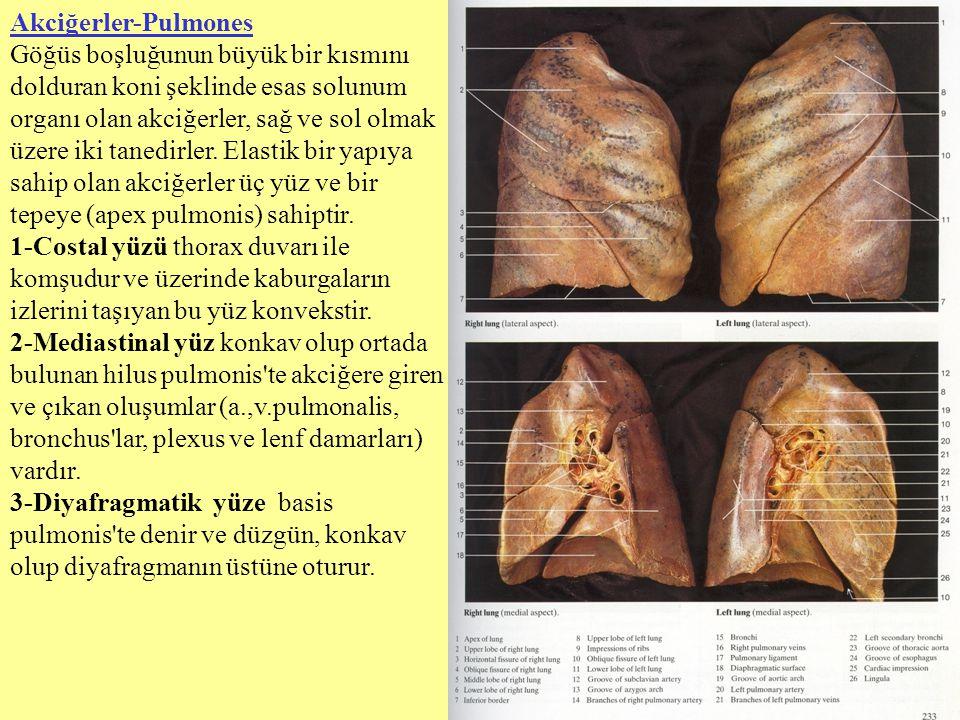 Akciğerler-Pulmones