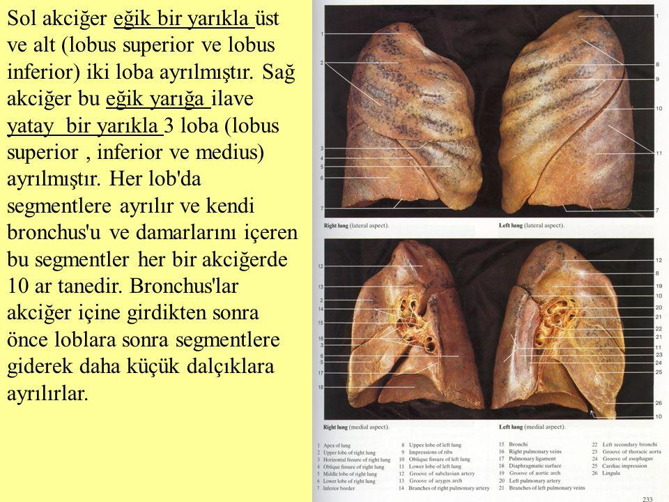 Sol akciğer eğik bir yarıkla üst ve alt (lobus superior ve lobus inferior) iki loba ayrılmıştır.