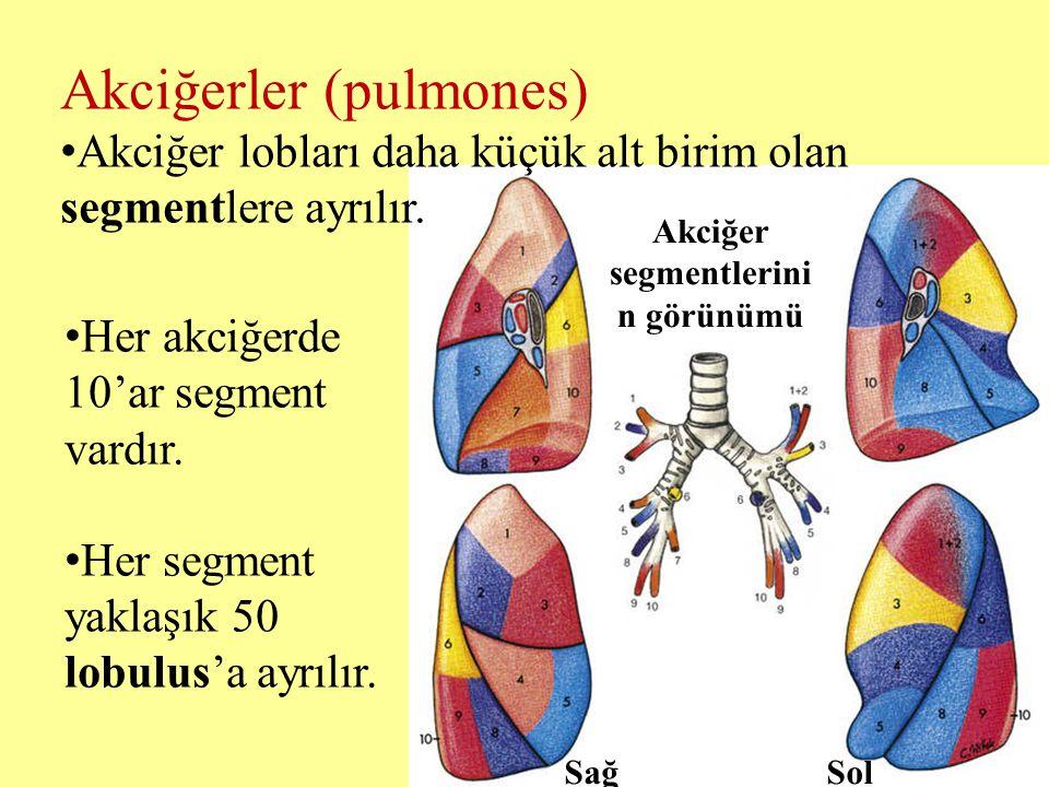 Akciğer segmentlerinin görünümü