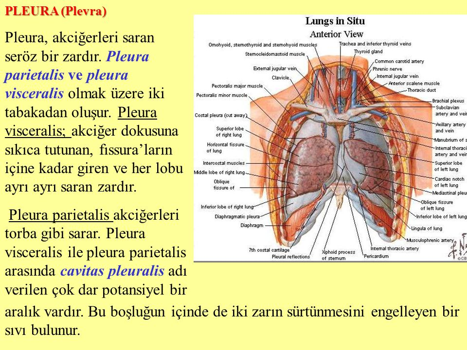 PLEURA (Plevra)