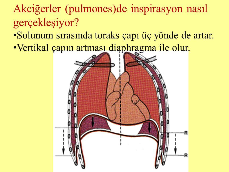 Akciğerler (pulmones)de inspirasyon nasıl gerçekleşiyor