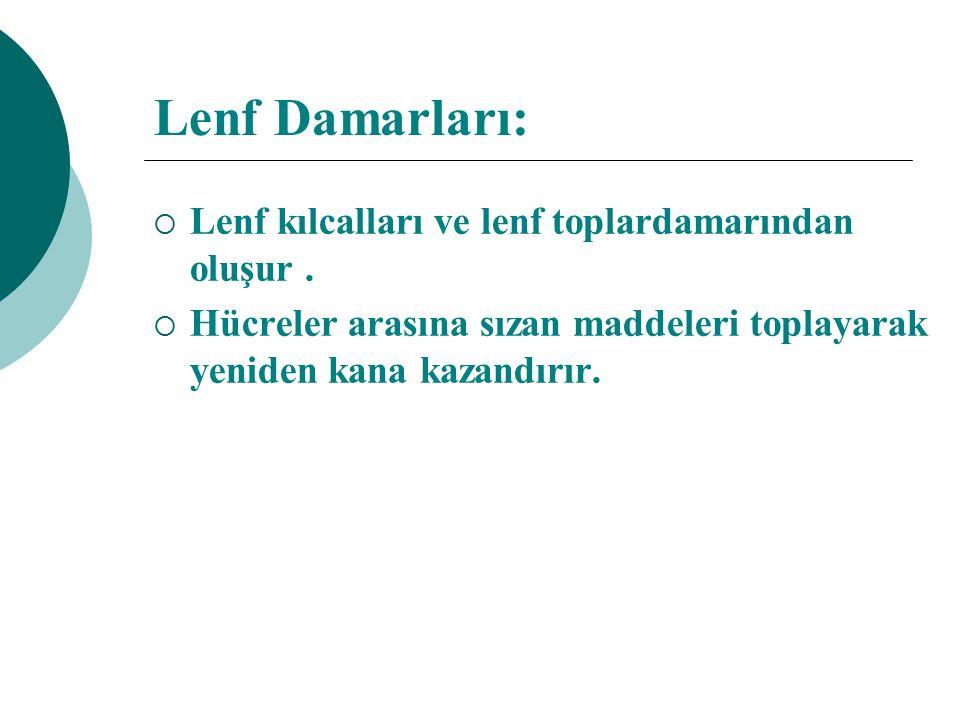 Lenf Damarları: Lenf kılcalları ve lenf toplardamarından oluşur .