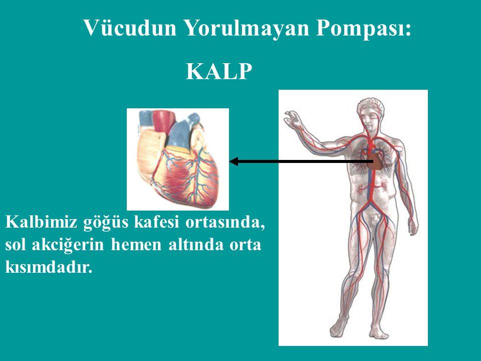 Vücudun Yorulmayan Pompası: KALP