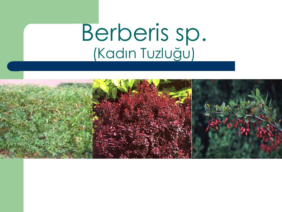 Berberis sp. (Kadın Tuzluğu)