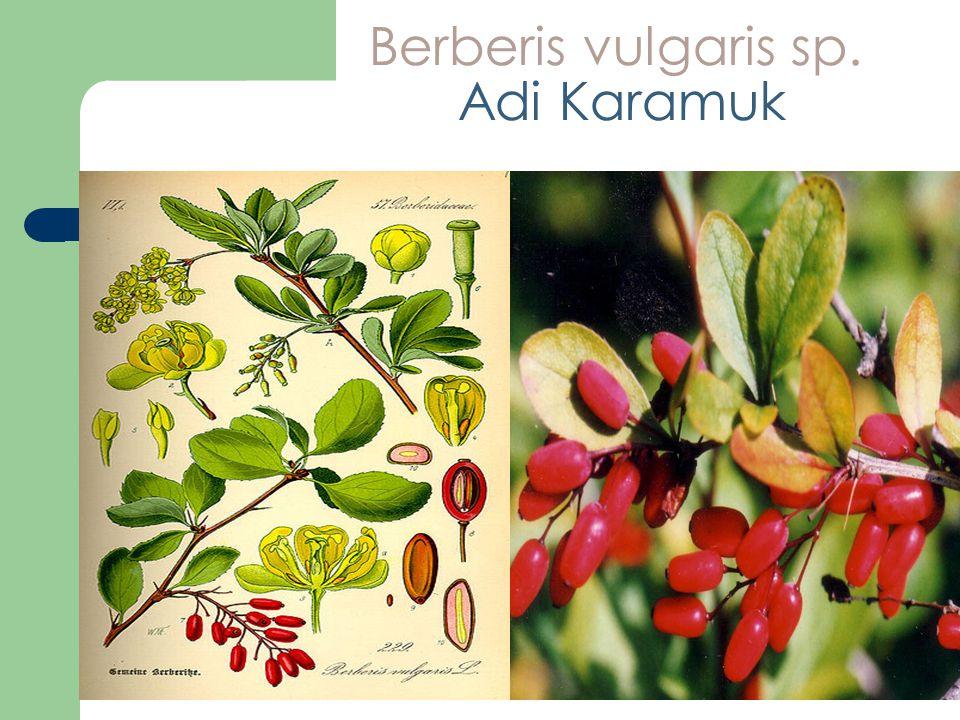 Berberis vulgaris sp. Adi Karamuk
