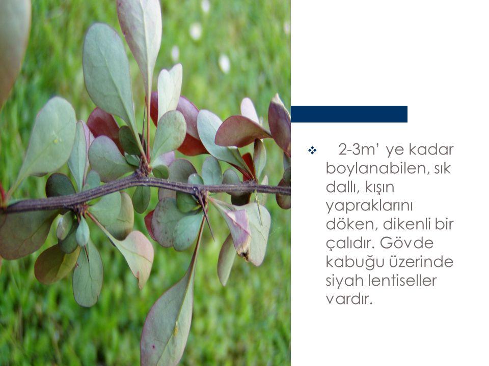 2-3m' ye kadar boylanabilen, sık dallı, kışın yapraklarını döken, dikenli bir çalıdır.