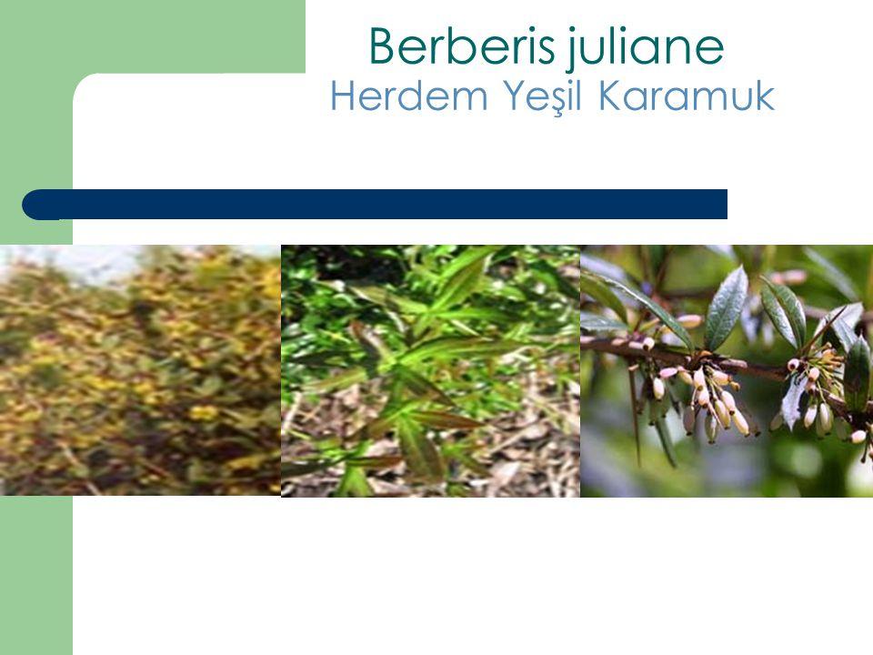 Berberis juliane Herdem Yeşil Karamuk