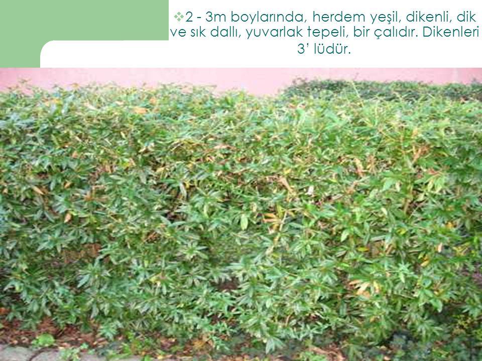 2 - 3m boylarında, herdem yeşil, dikenli, dik ve sık dallı, yuvarlak tepeli, bir çalıdır.