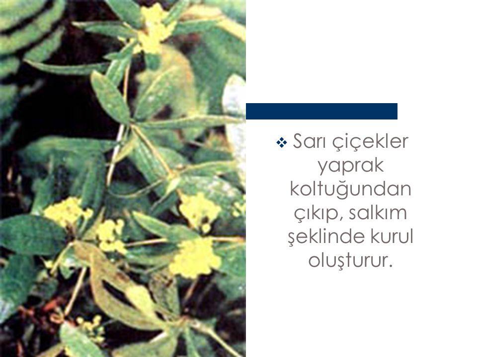 Sarı çiçekler yaprak koltuğundan çıkıp, salkım şeklinde kurul oluşturur.