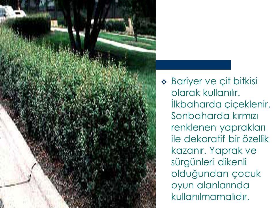 Bariyer ve çit bitkisi olarak kullanılır. İlkbaharda çiçeklenir