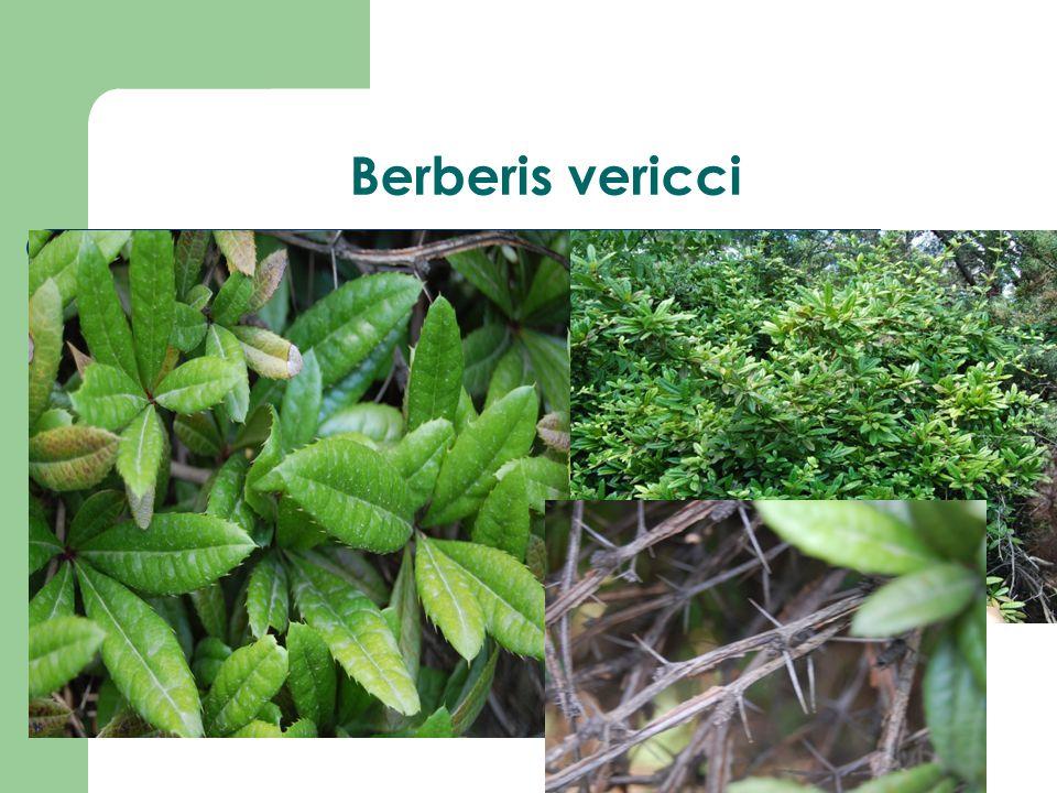 Berberis vericci