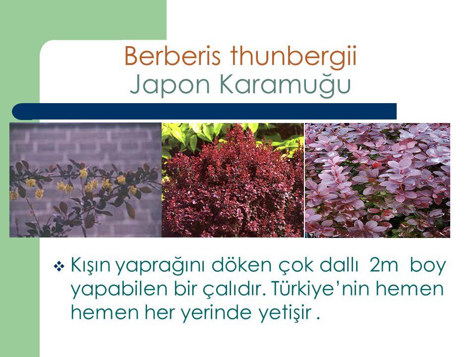 Berberis thunbergii Japon Karamuğu