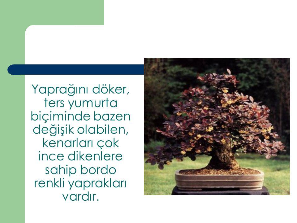 Yaprağını döker, ters yumurta biçiminde bazen değişik olabilen, kenarları çok ince dikenlere sahip bordo renkli yaprakları vardır.