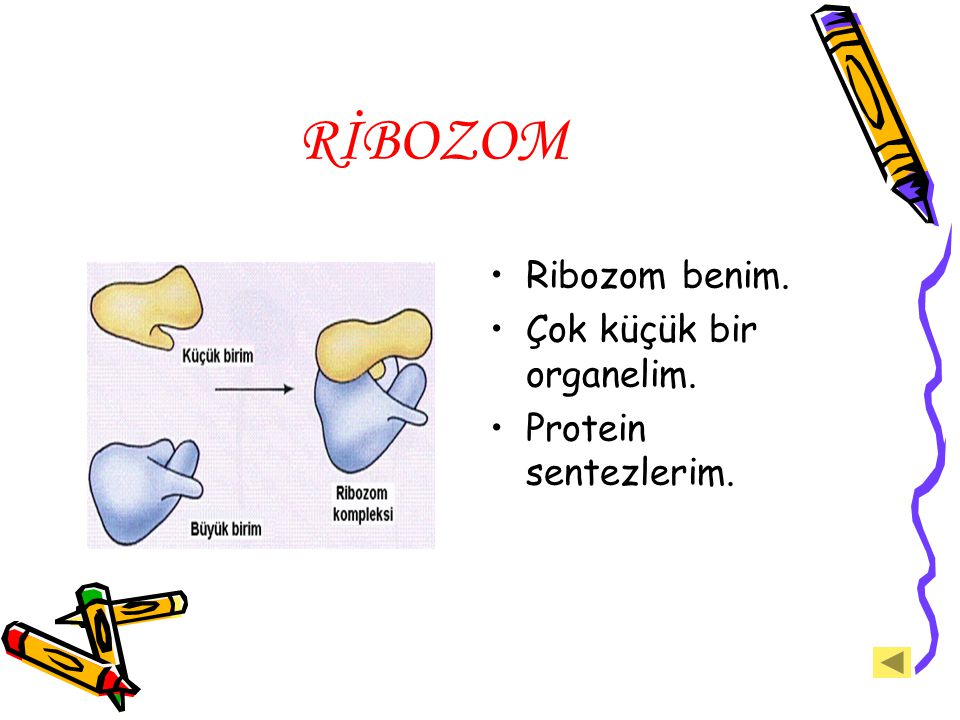 RİBOZOM Ribozom benim. Çok küçük bir organelim. Protein sentezlerim.