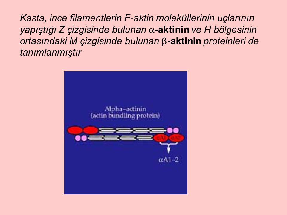 Kasta, ince filamentlerin F-aktin moleküllerinin uçlarının yapıştığı Z çizgisinde bulunan -aktinin ve H bölgesinin ortasındaki M çizgisinde bulunan -aktinin proteinleri de tanımlanmıştır
