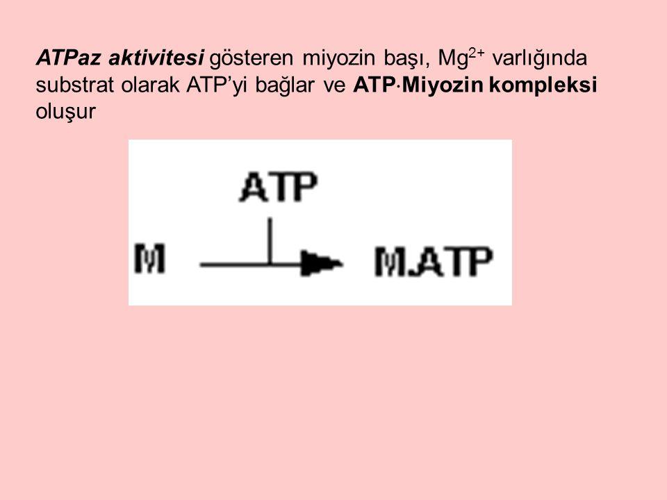 ATPaz aktivitesi gösteren miyozin başı, Mg2+ varlığında substrat olarak ATP'yi bağlar ve ATPMiyozin kompleksi oluşur