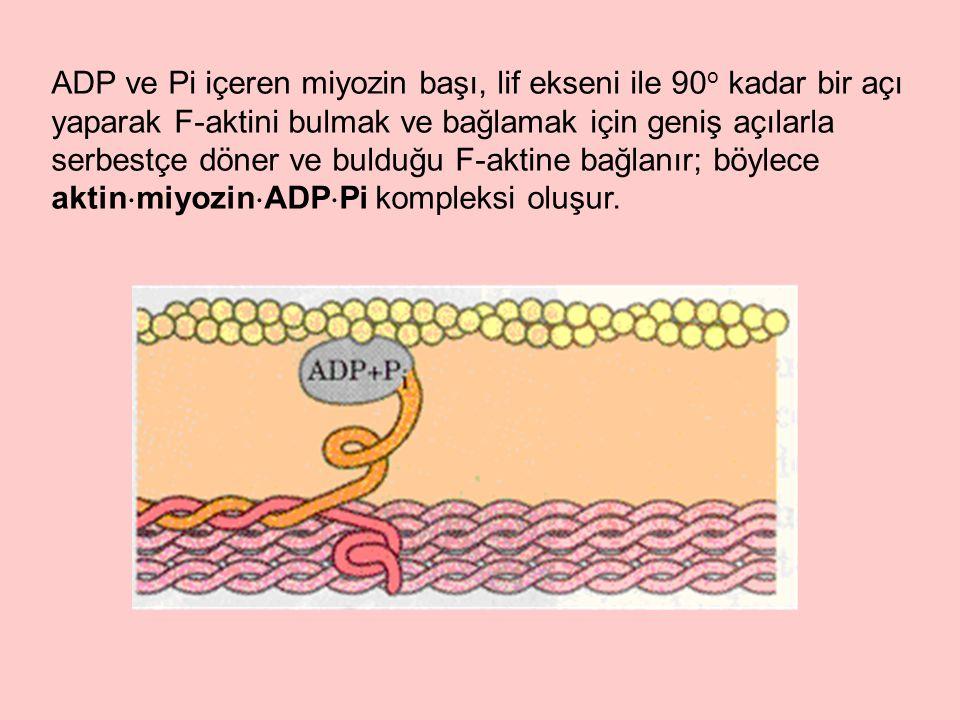 ADP ve Pi içeren miyozin başı, lif ekseni ile 90o kadar bir açı yaparak F-aktini bulmak ve bağlamak için geniş açılarla serbestçe döner ve bulduğu F-aktine bağlanır; böylece aktinmiyozinADPPi kompleksi oluşur.