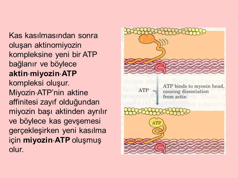 Kas kasılmasından sonra oluşan aktinomiyozin kompleksine yeni bir ATP bağlanır ve böylece aktinmiyozinATP kompleksi oluşur.
