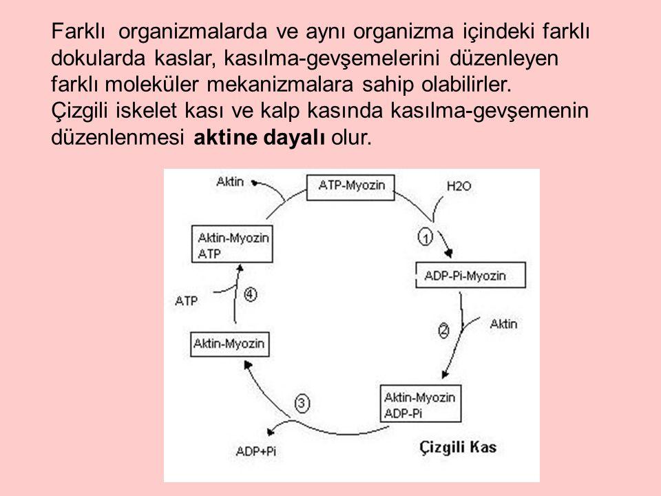 Farklı organizmalarda ve aynı organizma içindeki farklı dokularda kaslar, kasılma-gevşemelerini düzenleyen farklı moleküler mekanizmalara sahip olabilirler.