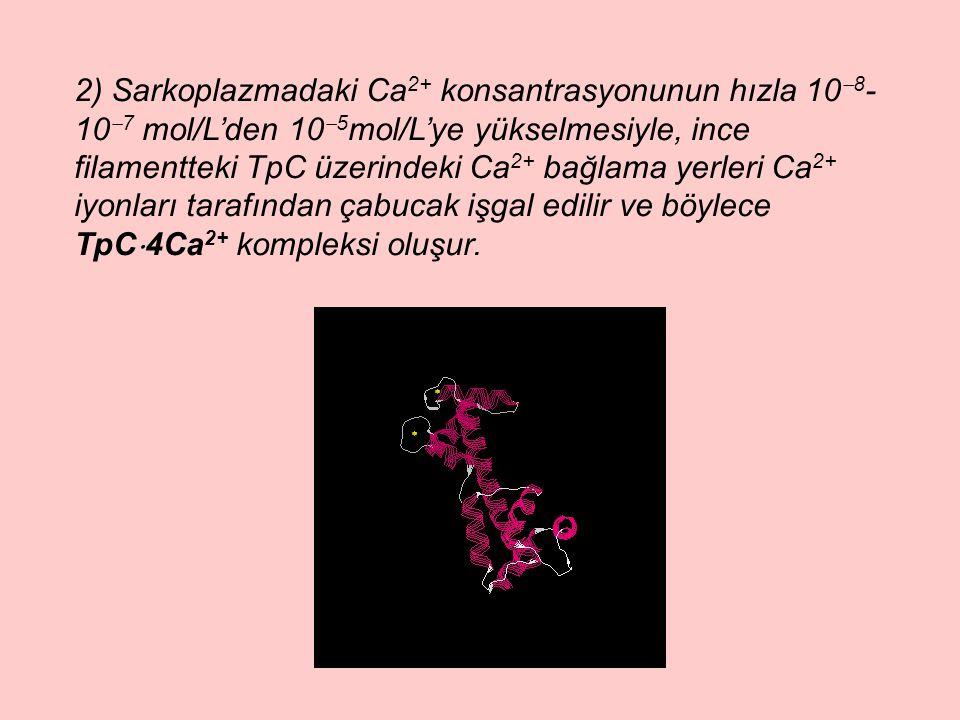 2) Sarkoplazmadaki Ca2+ konsantrasyonunun hızla 108-107 mol/L'den 105mol/L'ye yükselmesiyle, ince filamentteki TpC üzerindeki Ca2+ bağlama yerleri Ca2+ iyonları tarafından çabucak işgal edilir ve böylece TpC4Ca2+ kompleksi oluşur.
