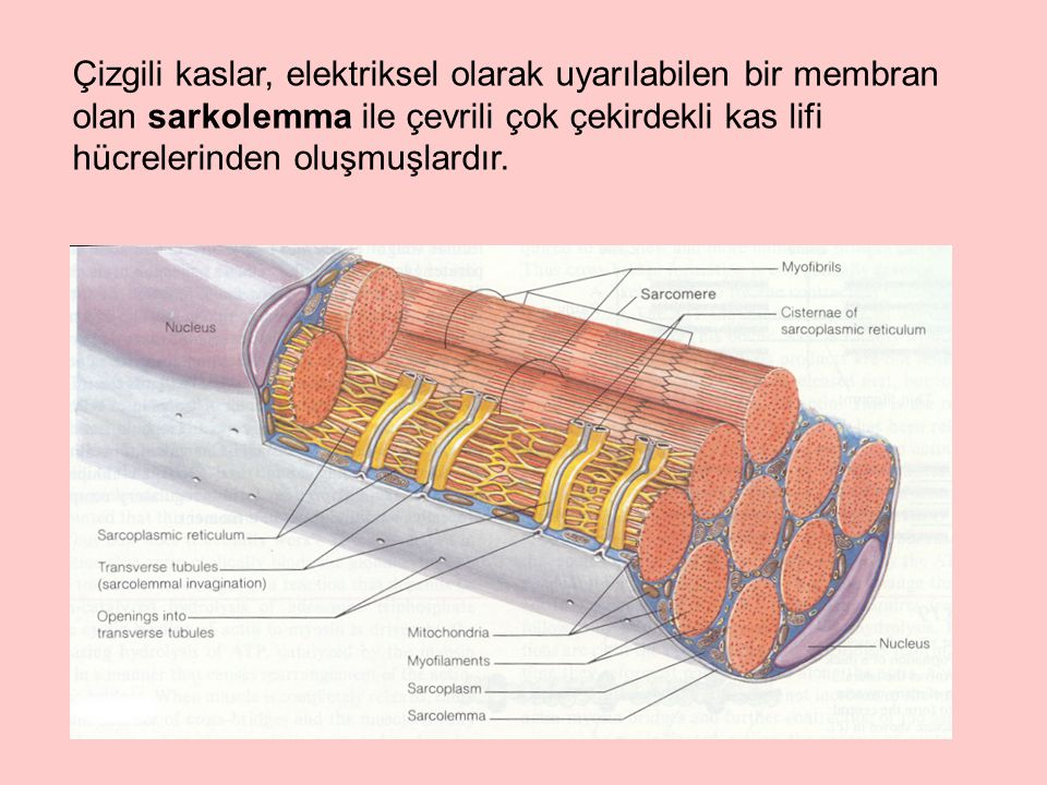 Çizgili kaslar, elektriksel olarak uyarılabilen bir membran olan sarkolemma ile çevrili çok çekirdekli kas lifi hücrelerinden oluşmuşlardır.