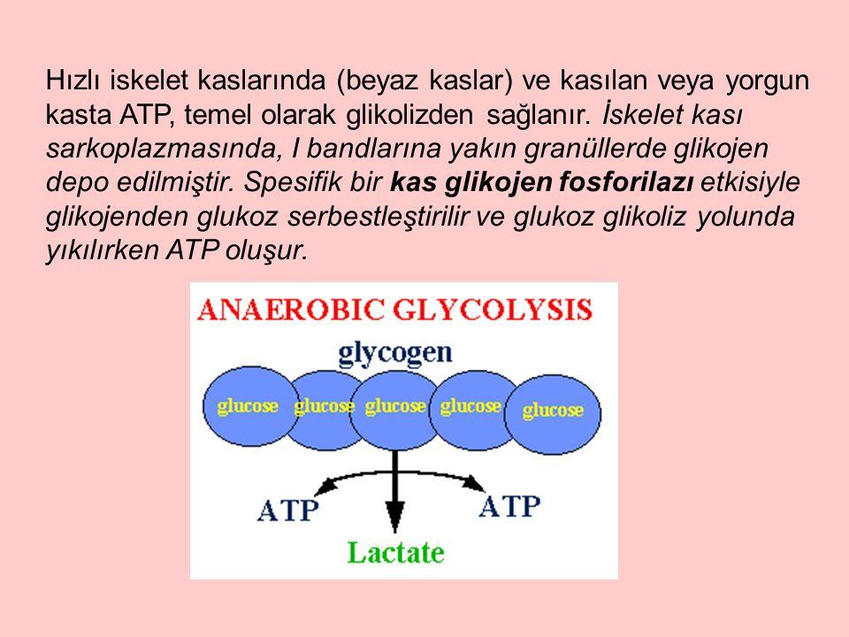 Hızlı iskelet kaslarında (beyaz kaslar) ve kasılan veya yorgun kasta ATP, temel olarak glikolizden sağlanır.