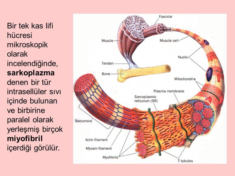 Bir tek kas lifi hücresi mikroskopik olarak incelendiğinde, sarkoplazma denen bir tür intrasellüler sıvı içinde bulunan ve birbirine paralel olarak yerleşmiş birçok miyofibril içerdiği görülür.