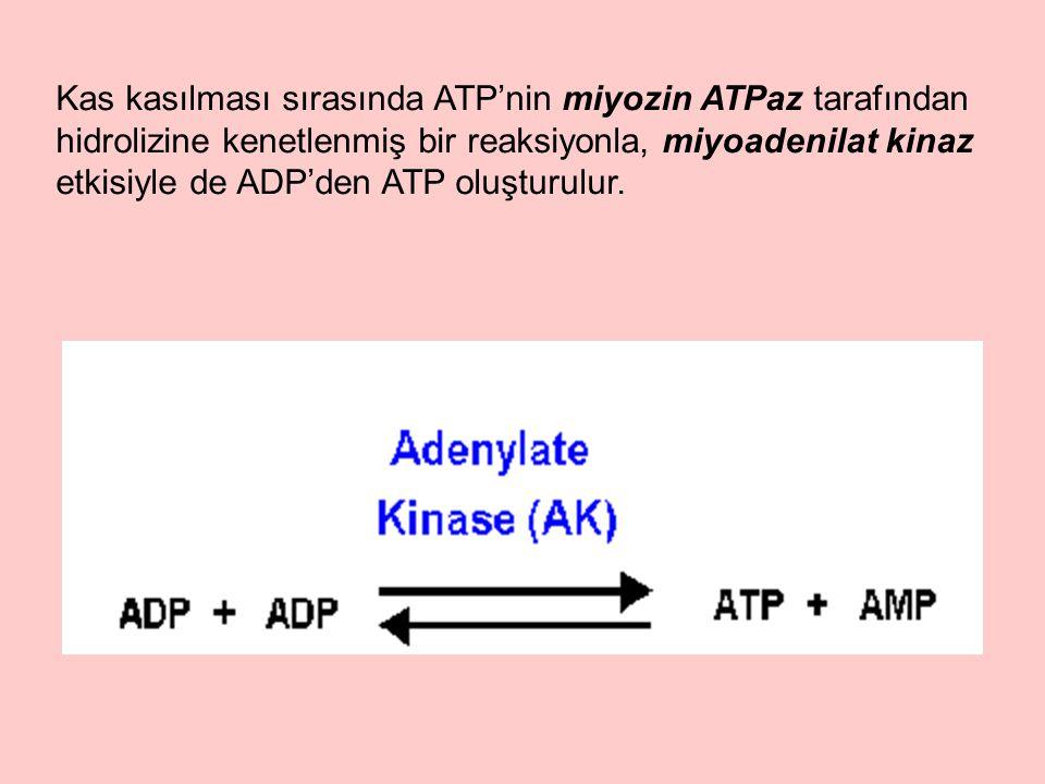 Kas kasılması sırasında ATP'nin miyozin ATPaz tarafından hidrolizine kenetlenmiş bir reaksiyonla, miyoadenilat kinaz etkisiyle de ADP'den ATP oluşturulur.