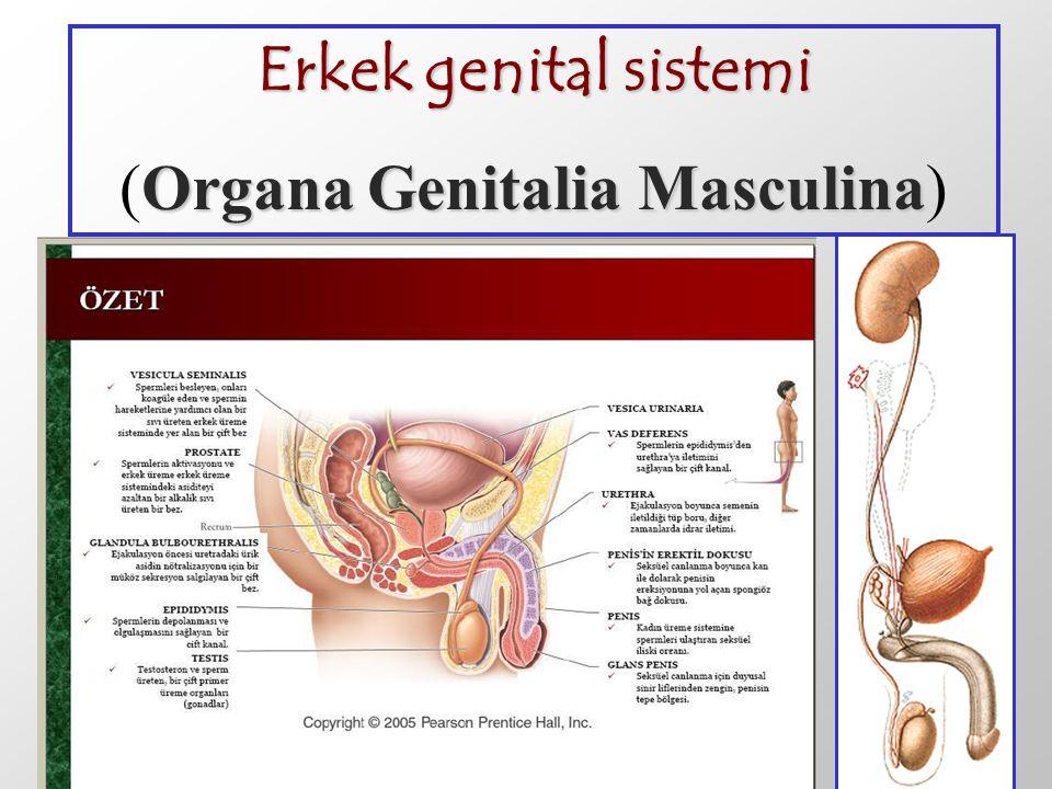 (Organa Genitalia Masculina)