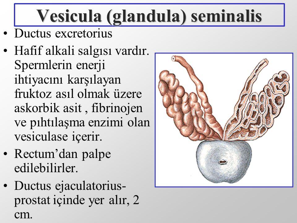 Vesicula (glandula) seminalis