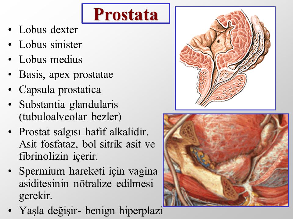 Prostata Lobus dexter Lobus sinister Lobus medius