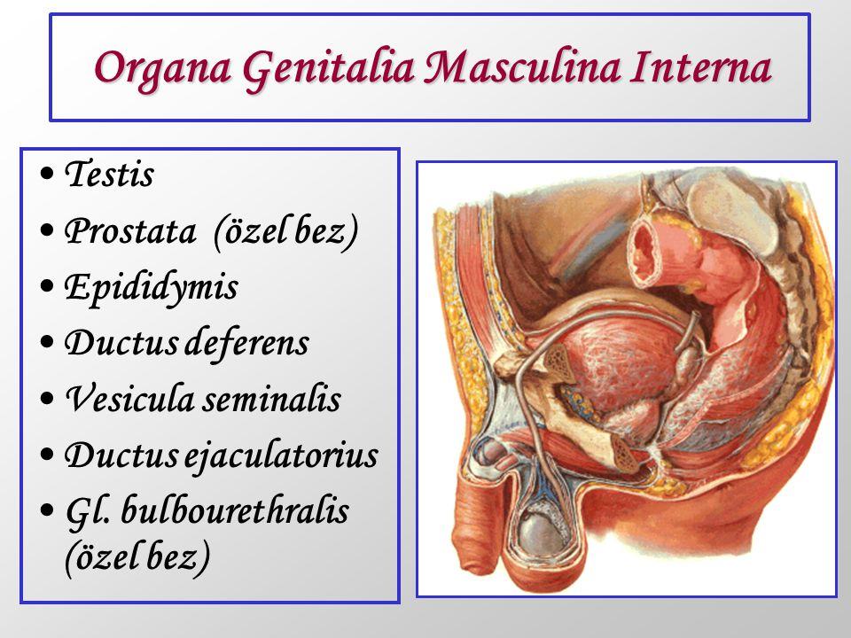 Organa Genitalia Masculina Interna