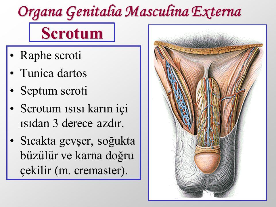 Organa Genitalia Masculina Externa Scrotum
