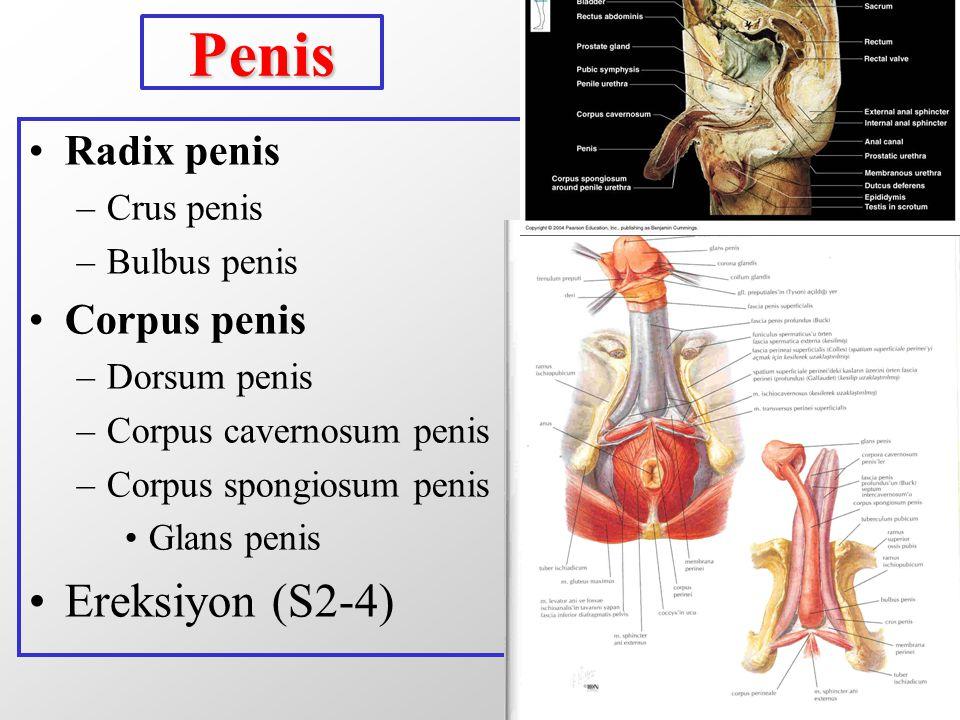 Penis Ereksiyon (S2-4) Radix penis Corpus penis Crus penis