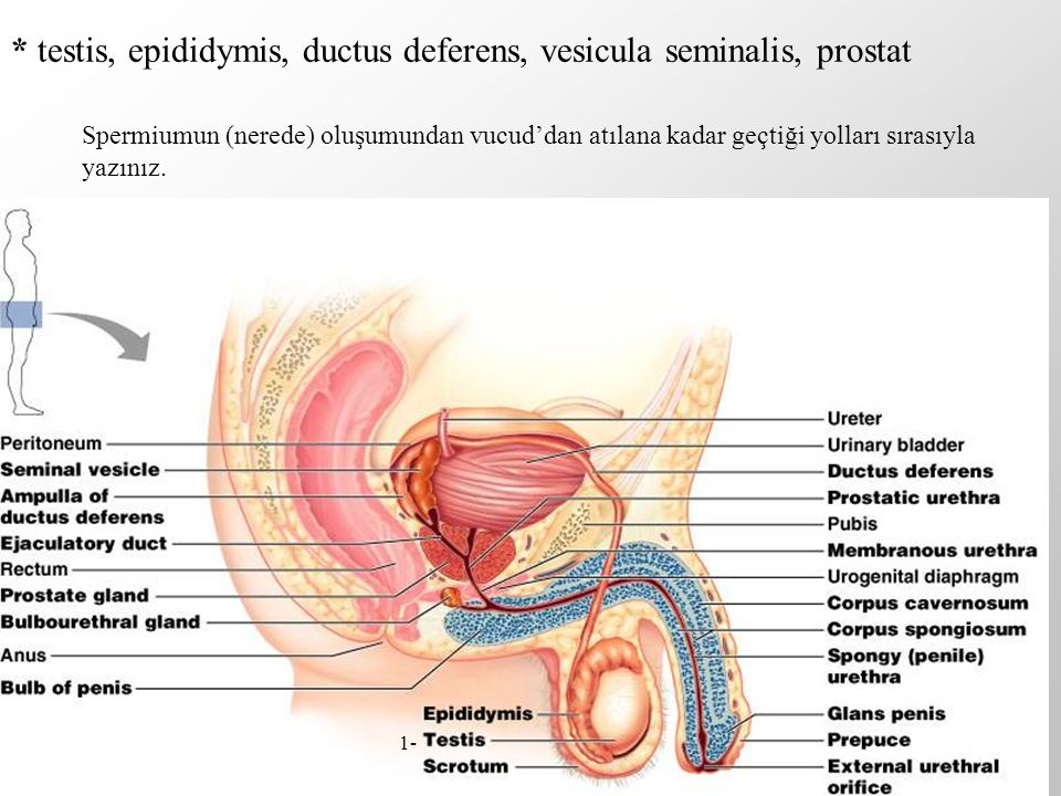 * testis, epididymis, ductus deferens, vesicula seminalis, prostat