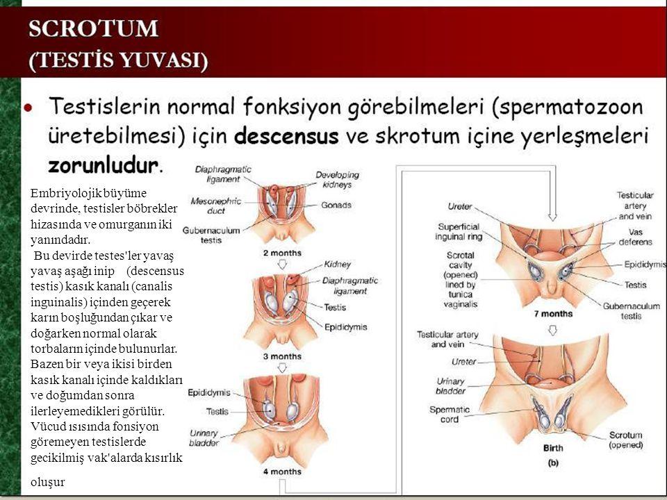 Embriyolojik büyüme devrinde, testisler böbrekler hizasında ve omurganın iki yanındadır.